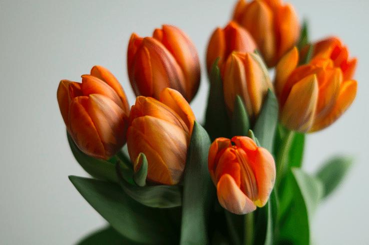 orange-tulipan-forår-påske