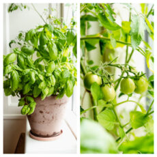Dyrk tomater og krydderurter i vindueskarmen